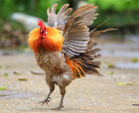 Beautiful Rooster. On nature background Royalty Free Stock Photography