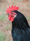 Beautiful rooster. Royalty Free Stock Photo