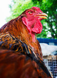 Beautiful Rooster Royalty Free Stock Photo