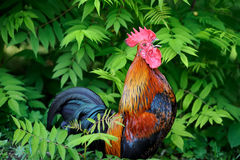 Beautiful Rooster on nature background Stock Photography
