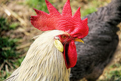 Beautiful Rooster. Photo of the Beautiful Rooster Royalty Free Stock Photography