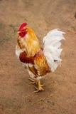 Beautiful Rooster in rustic farm yard Stock Photo