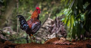 Beautiful rooster walking alone. A rooster, also known as a cockerel or cock, is a male gallinaceous bird, usually a male chicken. Mature male chickens less than Royalty Free Stock Photo