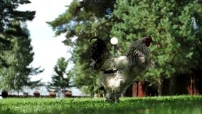 Beautiful rooster walking on the grass stock footage