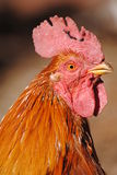 Beautiful roosters. Beautiful a red rooster photo Royalty Free Stock Images