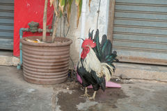 Beautiful Roosters on nature Stock Photography