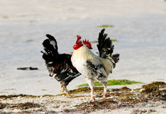 Beautiful Roosters Stock Photography