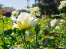 A Beautiful Rosa `White Spray` rose perfectly formed blooms in a spring season at a botanical garden. Beautiful Rosa `White Spray` rose perfectly formed blooms stock photos