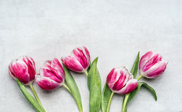 Beautiful rosa white tulips, floral border on light gray background, top view. Spring flowers Stock Photo