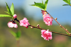 Beautiful Rosaceae flower Royalty Free Stock Image