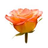 Beautiful rose. Stock Photo
