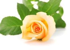 Beautiful rose Royalty Free Stock Image