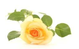Beautiful rose Stock Photography