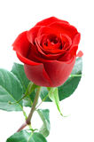 Beautiful rose. Royalty Free Stock Images