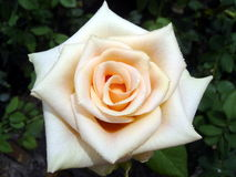Beautiful Rose. A light colored rose up close Royalty Free Stock Photo