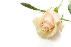 Beautiful rose Stock Photography
