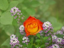 Beautiful Rose. Soft beautiful rose among tinny flowers Stock Images