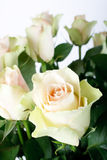 Beautiful rose. On the white Stock Photography