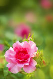 Beautiful rose Royalty Free Stock Photography