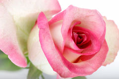 Beautiful rose background with water drops Stock Photos