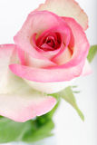Beautiful rose background with water drops Stock Images