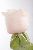 Beautiful rose background with water drops Royalty Free Stock Photos