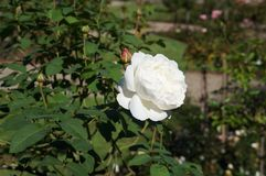Beautiful rose in bloom. Shallow depth of field, selective focus. Beautiful gorgeous white rose in bloom. Shallow depth of field, selective focus royalty free stock photos
