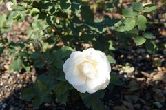 Beautiful rose in bloom. Shallow depth of field, selective focus stock photo