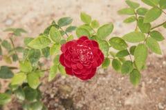 The beautiful rose bloom at valantine stock photo