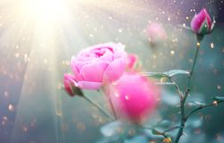 Beautiful rose blooming in summer garden. Pink rose flowers growing outdoors. In sun light royalty free stock photography