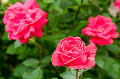 Beautiful rose blooms on a bush in the garden Stock Photos