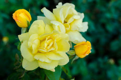 Beautiful rose blooms on a bush in the garden Royalty Free Stock Photography