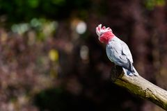Beautiful rose-breasted cockatoo on a branch. stock image