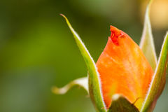 Beautiful rose bud macro Stock Photo