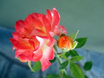 Rose  with buds in the spring garden. Splendid and romantic flowers Royalty Free Stock Photo