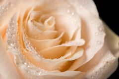 Beautiful rose bud with drops on a black background royalty free stock images