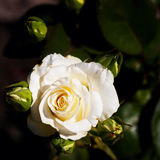 Beautiful rose bud Stock Photography