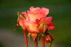 Beautiful rose with buds Royalty Free Stock Images