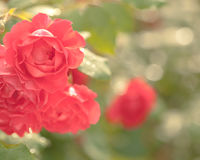 Beautiful rose bush Stock Photo