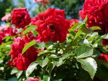 Rose bush with green leafs. Beautiful rose bush with green leafs stock photo