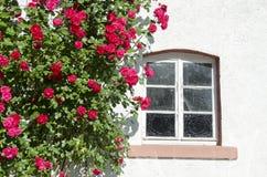 Beautiful rose bush near window on wall Royalty Free Stock Photo