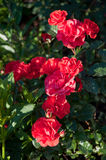 Beautiful rose bush Westpoint by Noack blooming in the garden. Beautiful rose bush Westpoint blooming in the garden Stock Images