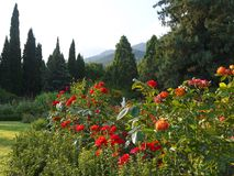 Beautiful rose bushes on the background of cypresses and mountains. For your design Royalty Free Stock Image