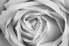 Beautiful rose, BW. Macro image Stock Photography