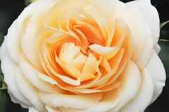 Beautiful rose. Beautiful champagne color rose in the garden Stock Image