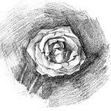 Beautiful rose charcoal artistic drawing Stock Photography