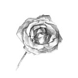 Beautiful rose charcoal artistic drawing. Charcoal artistic drawing of a beautiful rose stock illustration