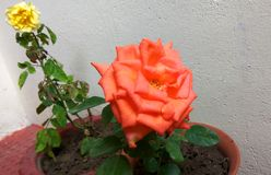 Beautiful Rose. Beautiful close up click of bloomed exotic rose floral plant planted in a pot stock photo