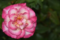 Beautiful rose close up in my garden royalty free stock images