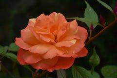 Beautiful rose close up in my garden royalty free stock photos